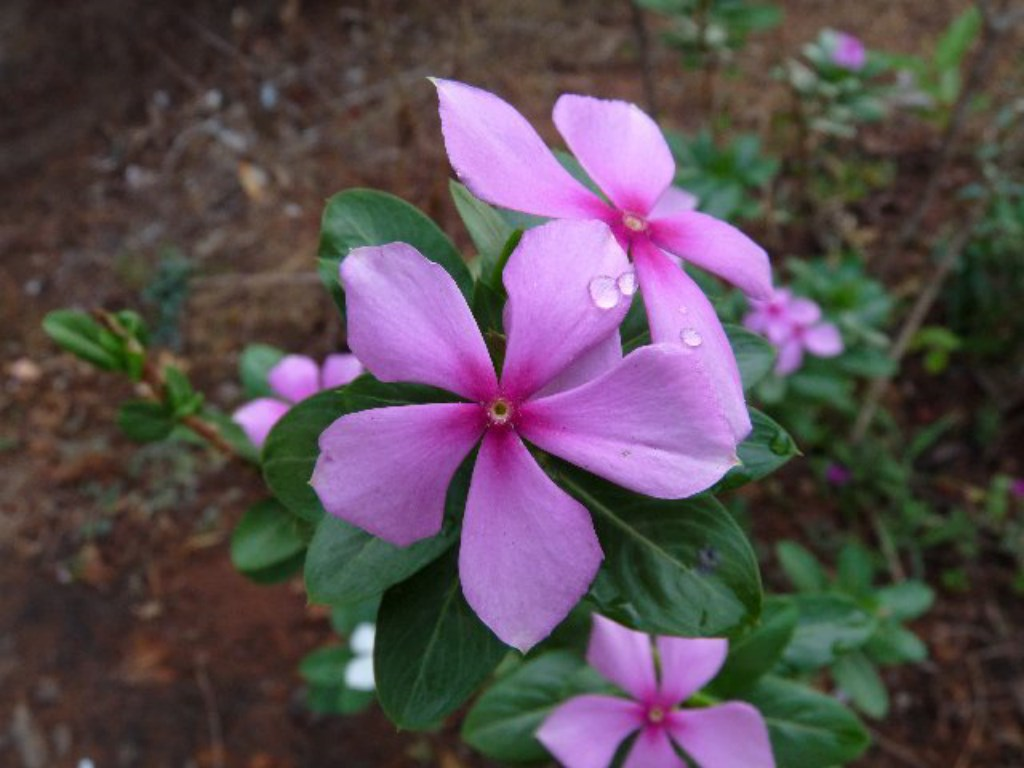 216137-marathi-sadafuli-flower-scientific-catharanthus-roseus-vinca-flower-goa-india