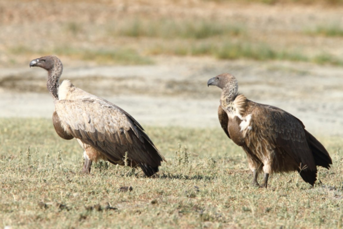 Oriental White-backed Vulture