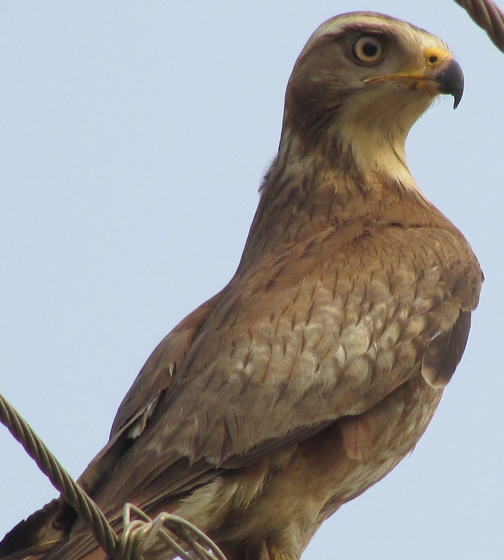 White-eyed Buzzard 1
