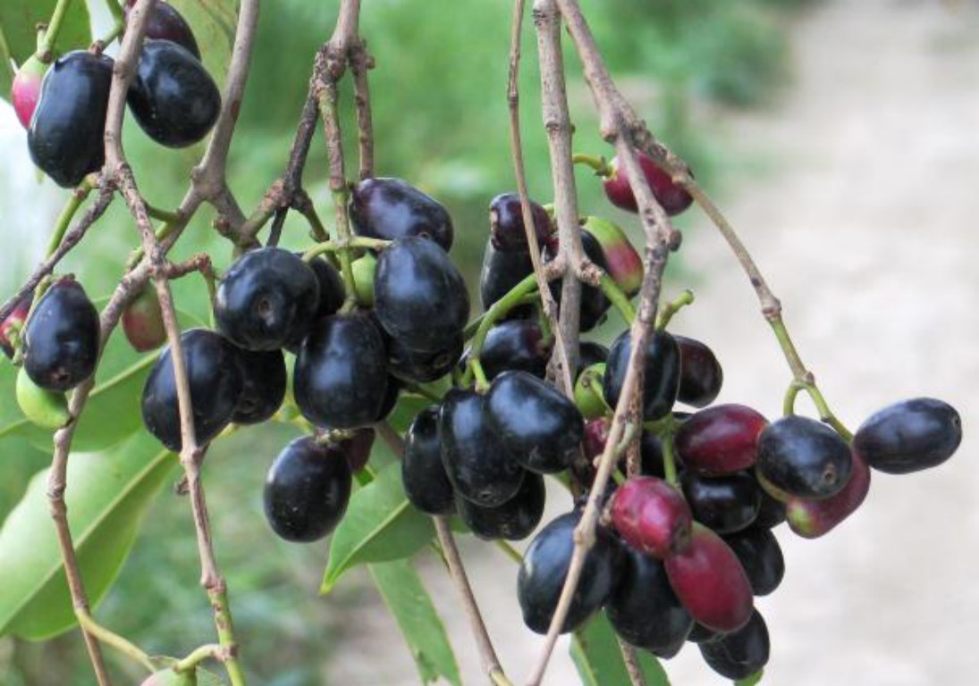fruit-of-jamun-tree