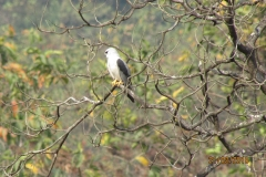 black winged kite 1