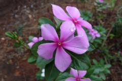 216137-marathi-sadafuli-flower-scientific-catharanthus-roseus-vinca-flower-goa-india