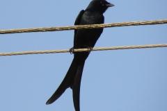 Black Drongo 2