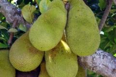 ammini-jackfruit1